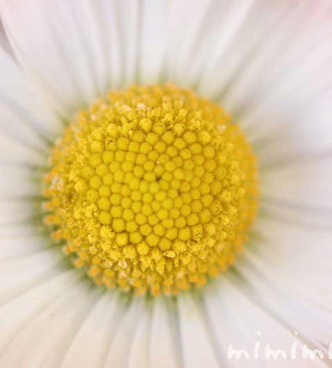 イングリッシュデージーの花の写真・花言葉