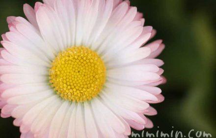デージー・デイジー(ひなぎく)の花の写真