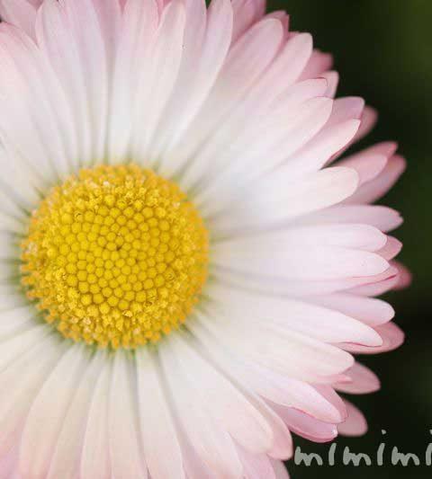 デージー(ヒナギク 雛菊)の花の写真・デージーの花言葉