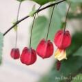ウキツリボク・チロリアンランプ(赤)の写真