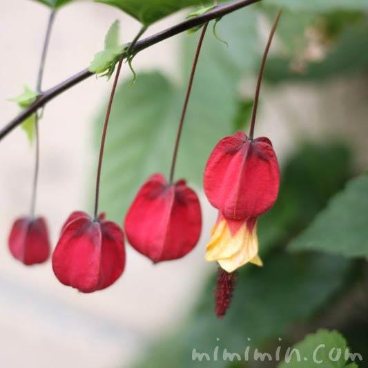 ウキツリボク(赤い花)の画像