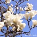 ハクモクレン 白木蓮の画像