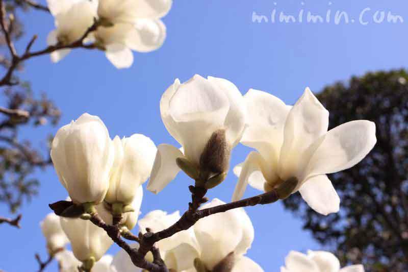 ハクモクレンの花の写真 白木蓮