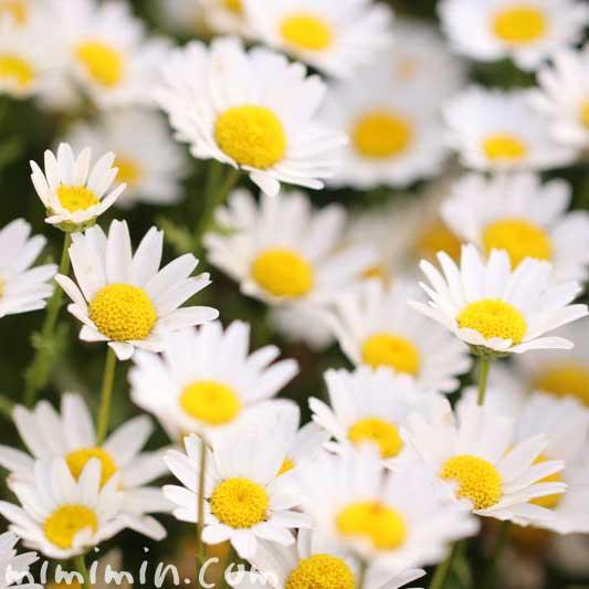クリサンセマム・ノースポールの花言葉の画像