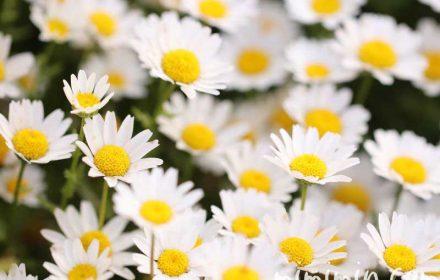 クリサンセマム・ノースポールの花の写真と花言葉の画像