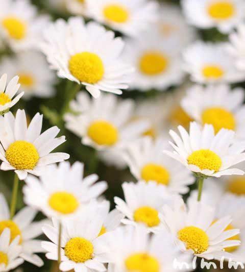 クリサンセマム・ノースポール|花の写真・花言葉
