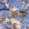 桜(目黒川の桜)の写真