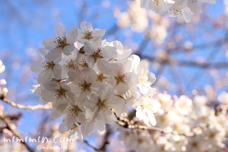 桜(目黒川の桜)の写真2