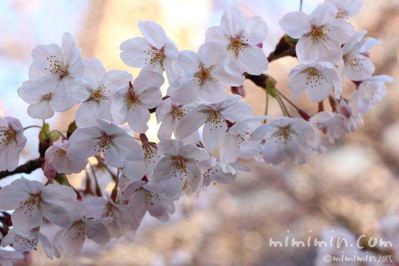 桜(目黒川の桜)の写真3