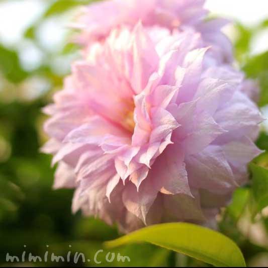 ピンクの八重咲きクレマチスの写真4-7-6