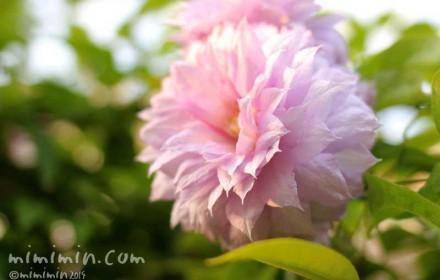 ピンクの八重咲きクレマチスの花の写真