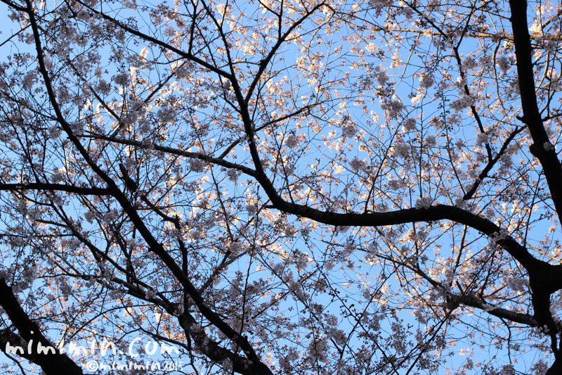 桜(目黒川の桜)の写真5