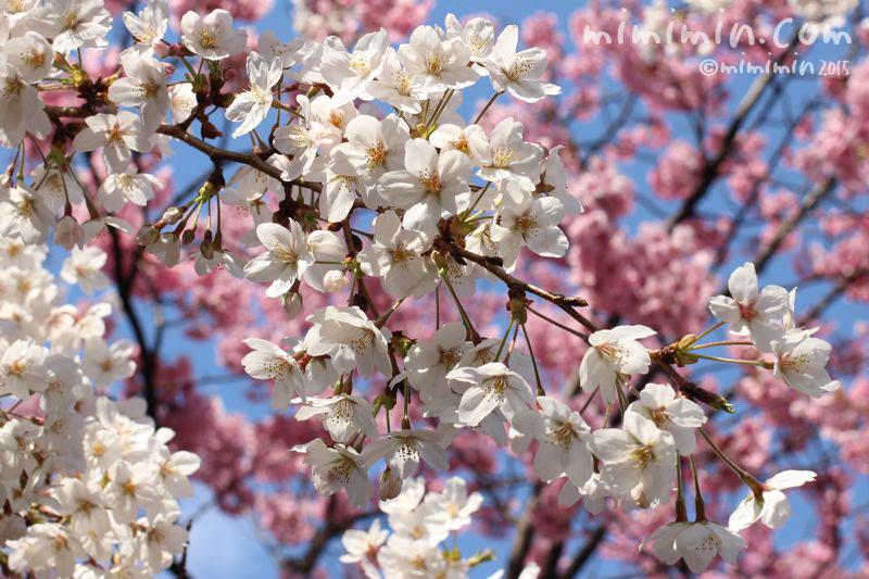 桜(六本木ヒルズ)写真2