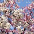 桜(六本木ヒルズ)