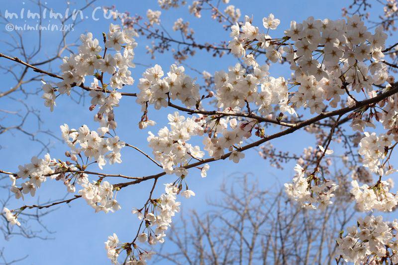 桜(六本木ヒルズ)写真4