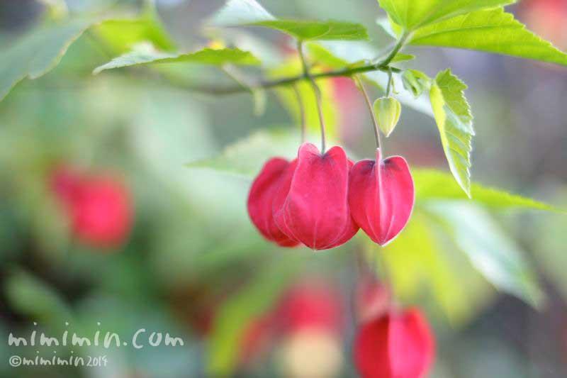 親子のようなウキツリボクの花の写真