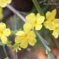 黄梅の写真