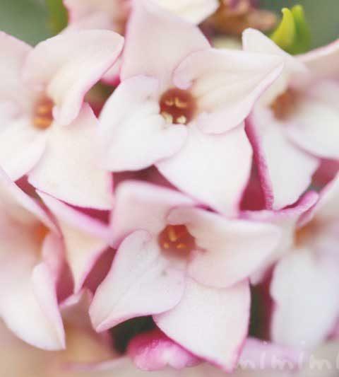ジンチョウゲ(ピンクの沈丁花)|花の写真・花言葉