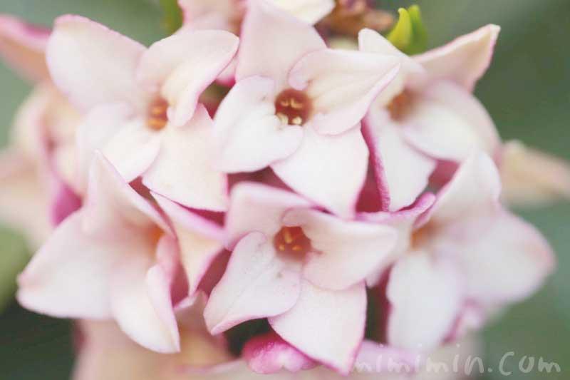 沈丁花の花言葉・沈丁花の花の写真