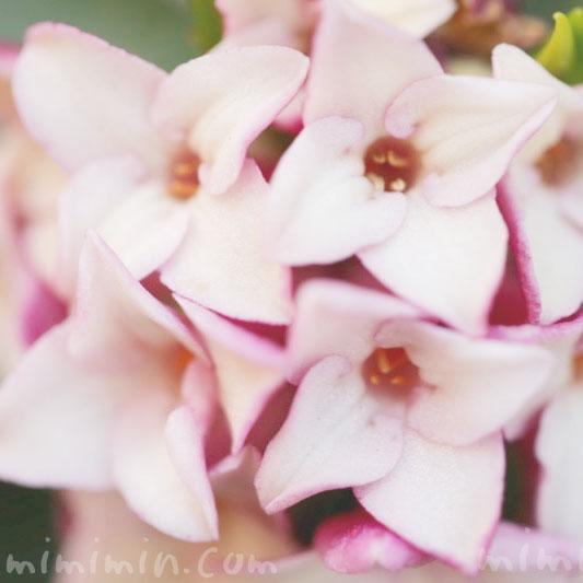 沈丁花の花言葉・ピンクの沈丁花の写真の画像