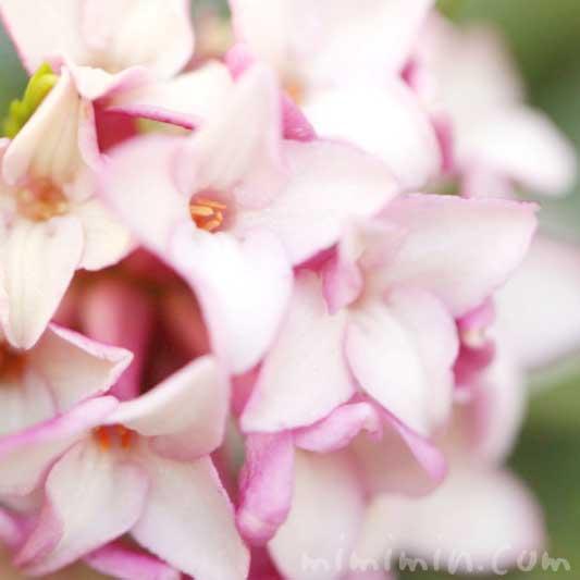 薄色沈丁花