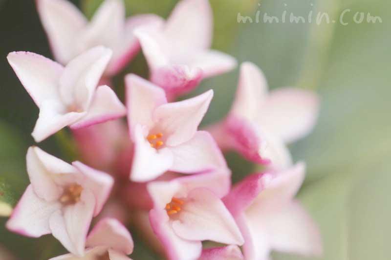 沈丁花の花言葉・ピンクの沈丁花の花の写真