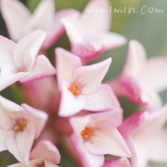 薄色沈丁花の画像