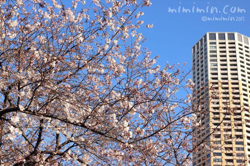 桜(目黒川の桜)の写真4