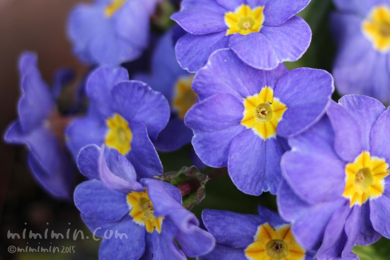 プリムラ(青紫色)の写真