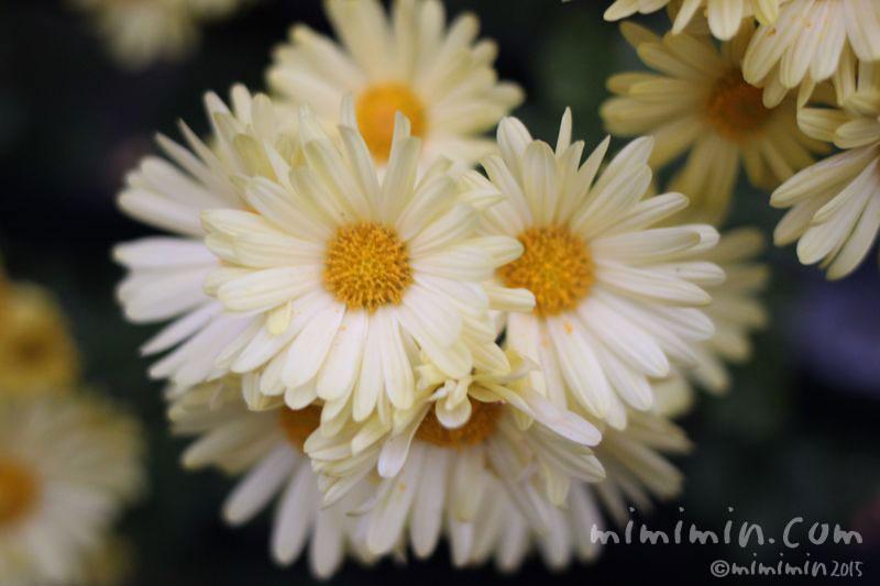 スプレー菊の写真