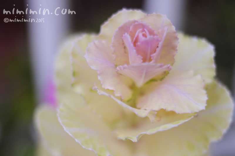 白いハボタン(葉牡丹)の写真