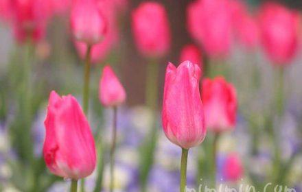 チューリップの花言葉の画像