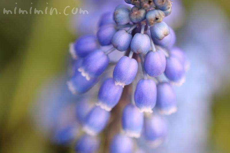 ムスカリの花の画像・青紫