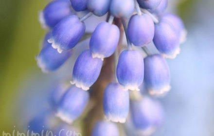 ムスカリの画像・青紫