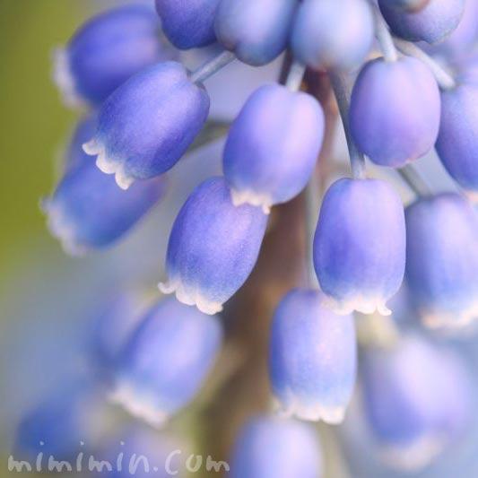 ムスカリの花の画像・紫