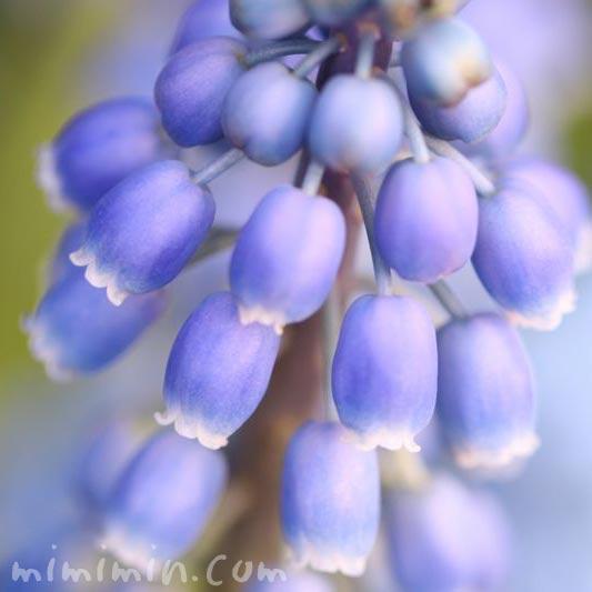 紫のムスカリの花の画像