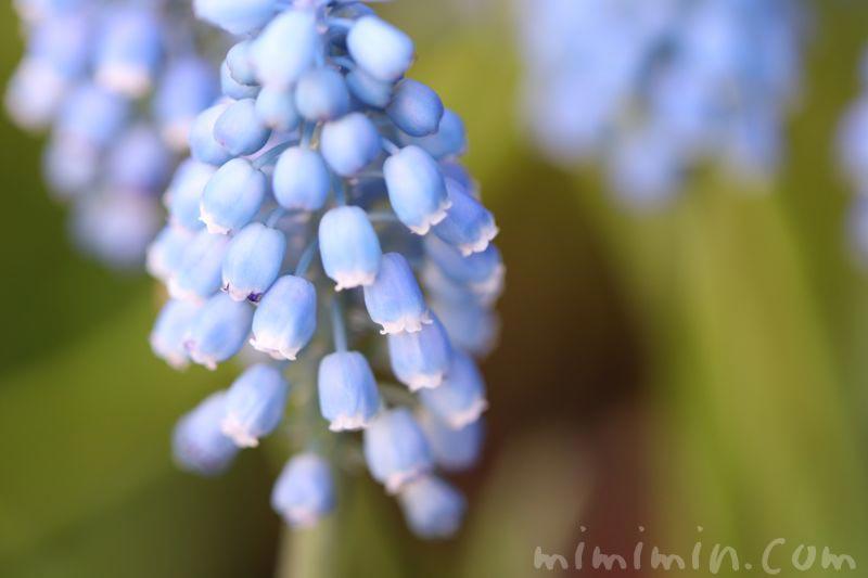 青いムスカリの画像