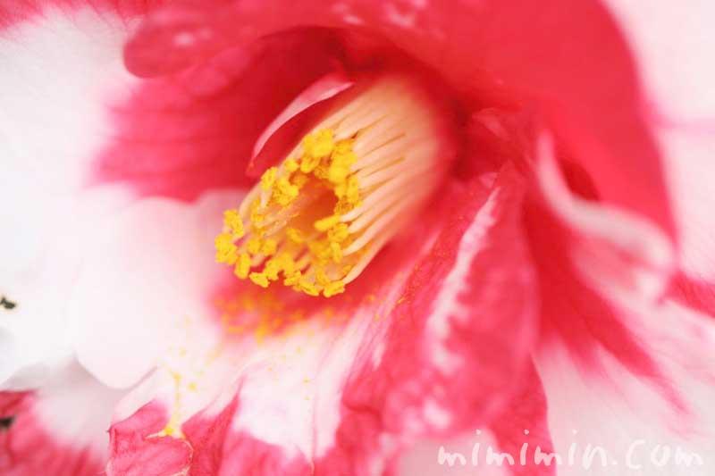 斑入りツバキの花の写真