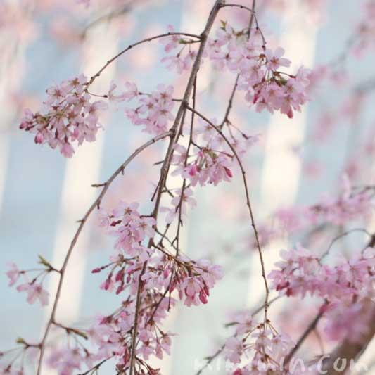 毛利庭園の枝垂れ桜 花言葉の画像