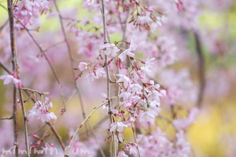 六本木ヒルズ 毛利庭園のシダレザクラの画像
