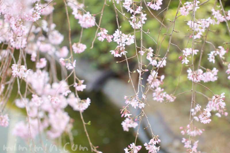 六本木ヒルズ 毛利庭園 枝垂れ桜