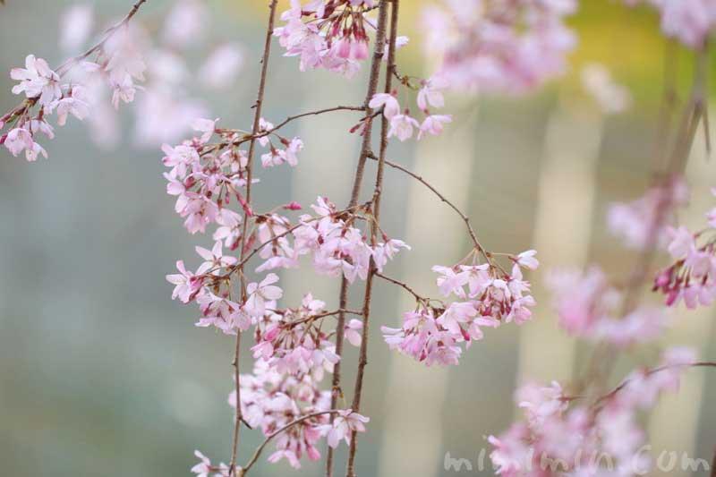 六本木ヒルズ 毛利庭園の枝垂れ桜の画像