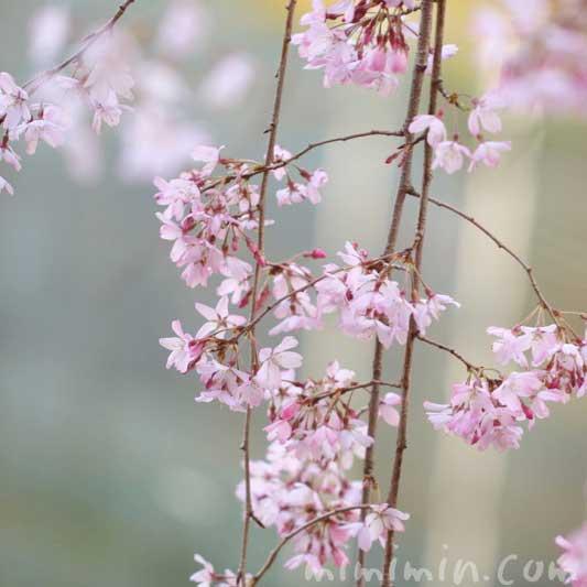 毛利庭園 枝垂れ桜