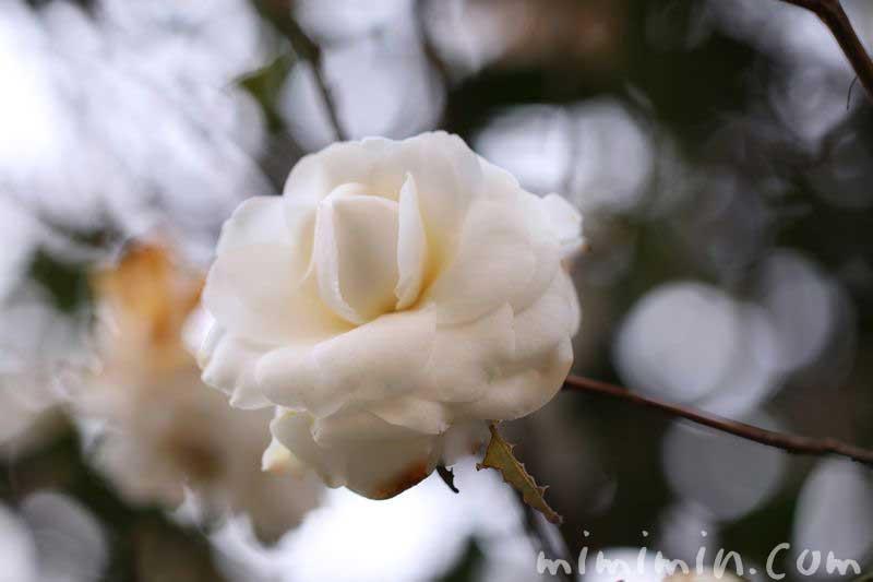 白乙女椿の画像