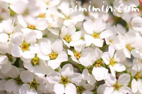 ユキヤナギ(雪柳)の花の画像