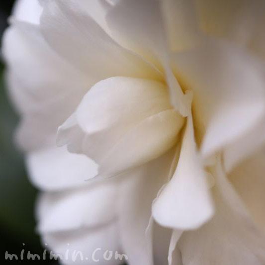 白いツバキの画像