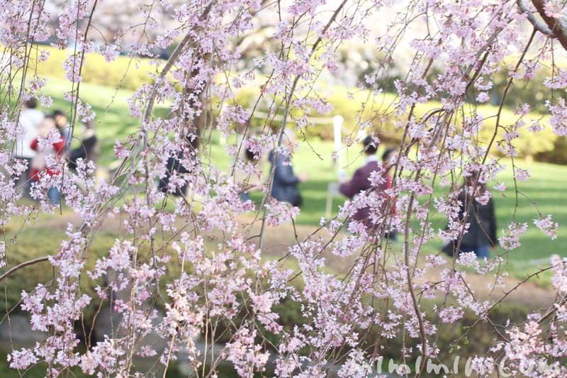 六本木ヒルズの枝垂れ桜の画像