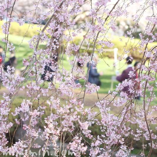 毛利庭園のシダレザクラの写真