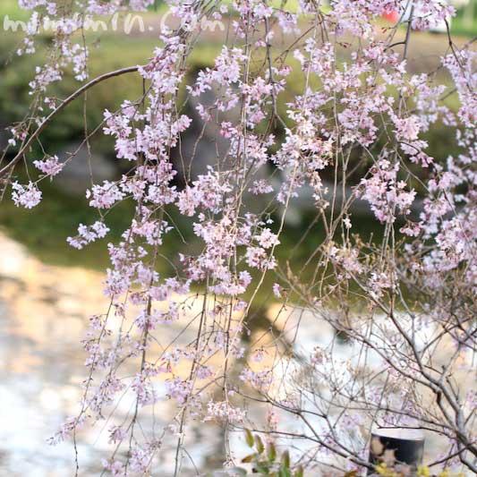 六本木ヒルズのシダレザクラの画像
