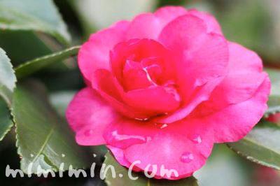 サザンカの写真&花言葉の画像